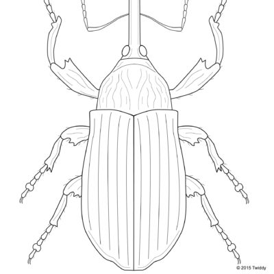 Anthonomus grandis, Boll Weevil; Adobe Illustrator. 2015