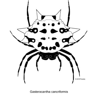 Gasteracantha cancriformis, Spiny-Backed Orb Spider; Adobe Illustrator. 2016