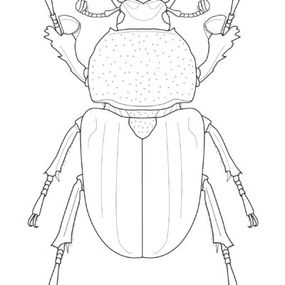 Lamprima latreillii, Golden Green Stag Beetle, Adobe Illustrator. 2015