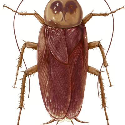American Cockroach: Periplaneta americana- Dorsal aspect; Graphite and Photoshop. 2001
