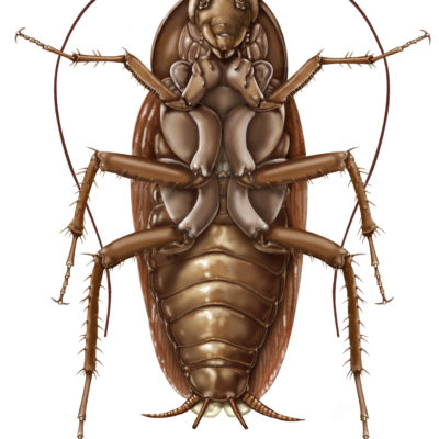 American Cockroach: Periplaneta americana- Ventral aspect; Graphite pencil and Photoshop. 2001