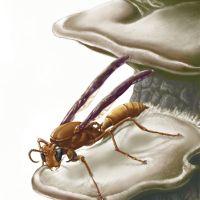 Polistes sp. wasp and shelf fungus, Georgia; Graphite pencil and Photoshop. 2000