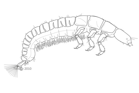 Caddisfly Larva; Macroinvertebrates created for National Mississippi River Museum & Aquarium, 2010.