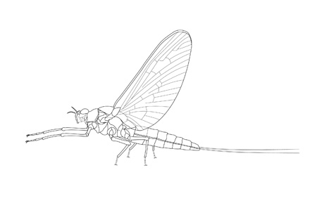 Mayfly; Macroinvertebrates created for National Mississippi River Museum & Aquarium, 2010.