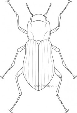 Riffle Beetle; Macroinvertebrates created for National Mississippi River Museum & Aquarium, 2010.