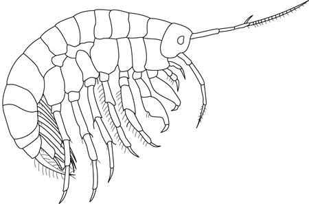 Scud; Macroinvertebrates created for National Mississippi River Museum & Aquarium, 2010.