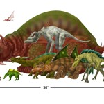 Size comparison- Fuso'olon species
