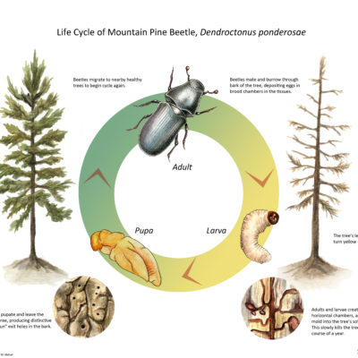 Life Cycle of Mountain Pine Beetle; Ink, Watercolor, and Photoshop. 2010