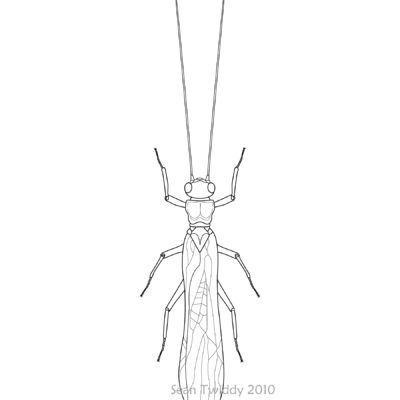 Stonefly;  Macroinvertebrates created for National Mississippi River Museum & Aquarium, 2010.